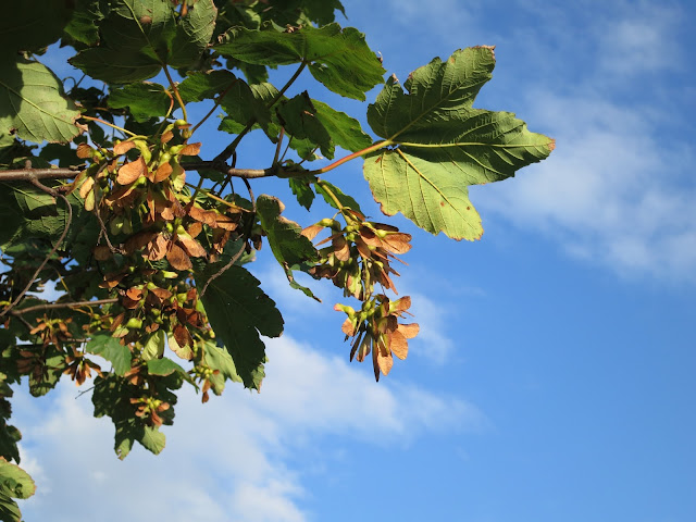 September sycamore seeds and leaves against a blue sky.
