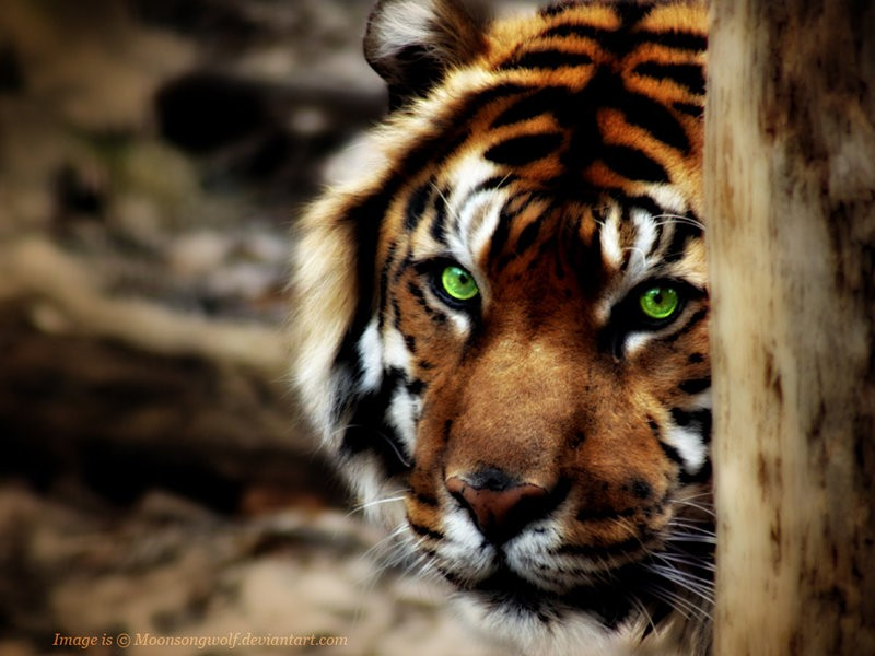 Scary Animal Wallpapers: Scary Tiger Eyes Wallpaper