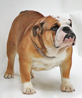Bulldog-pets-dogs-dog breeds