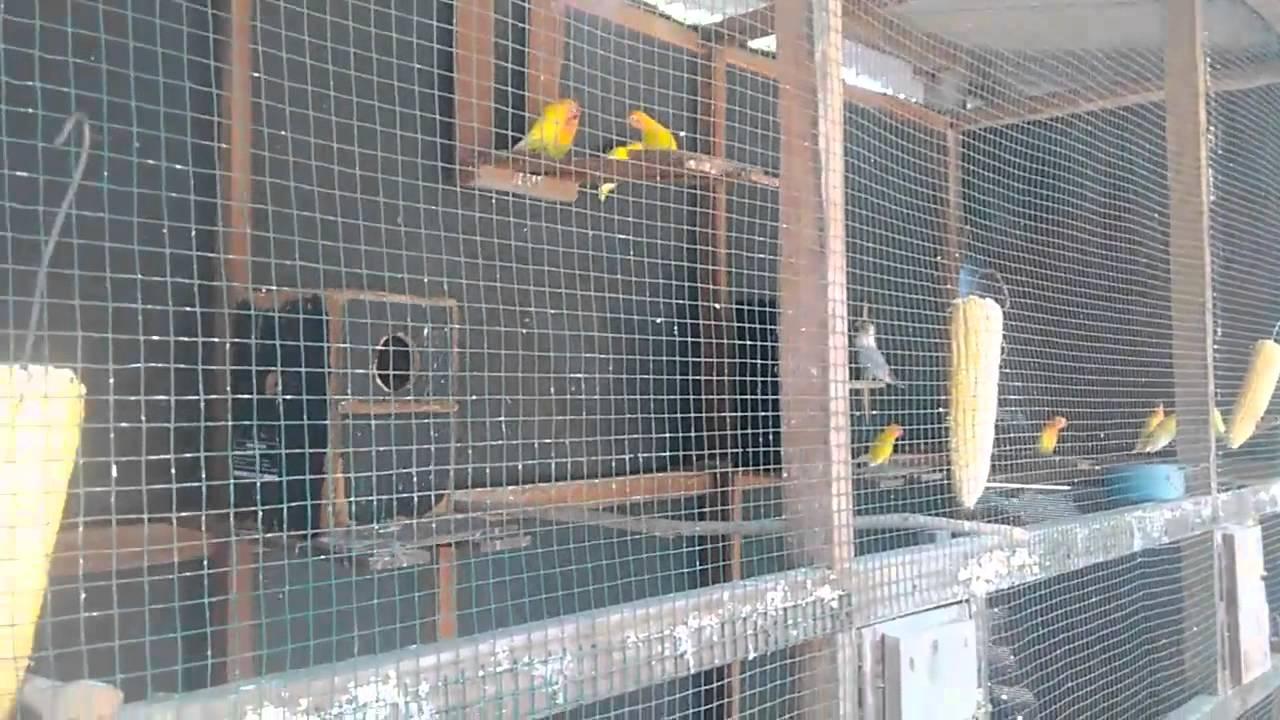 kumpulan gambar kandang ternak lovebird sistem koloni ...
