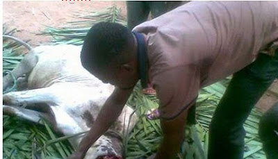 Youths In Anambra Kill Cow And Enjoyed Nsala Day After Boycotting Election