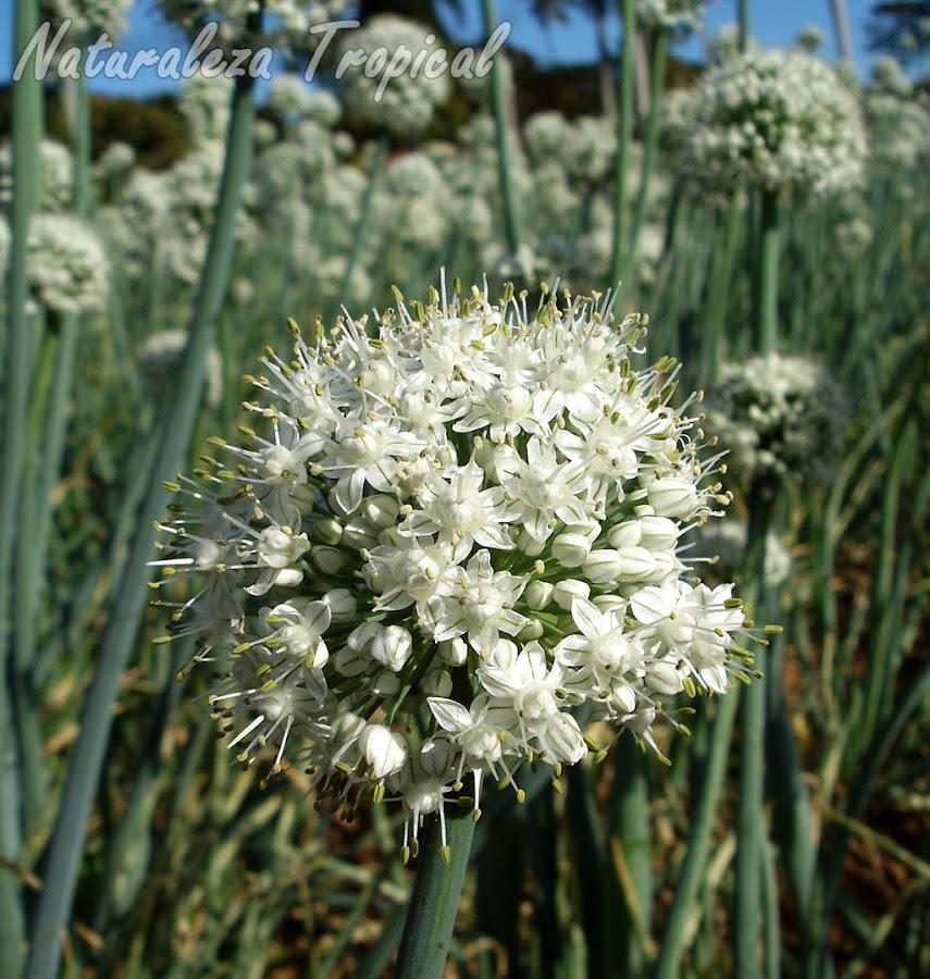 Inflorescencia de la conocida Cebolla, Allium cepa