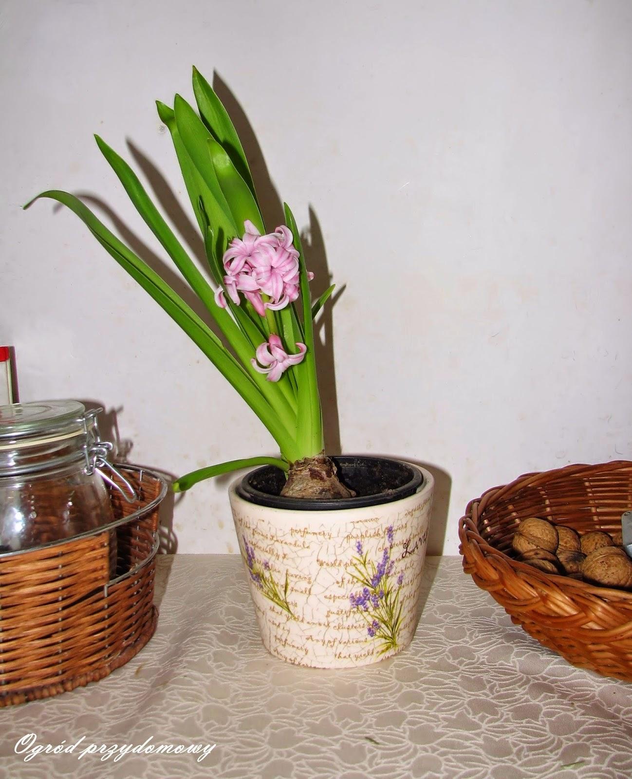 rośliny z marketu, ogród przydomowy, ogród za grosze