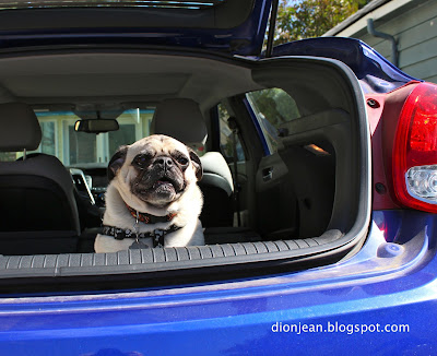 Liam the pug in the car