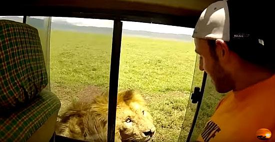 Turista sem noção acaricia leão selvagem e tem uma surpresa
