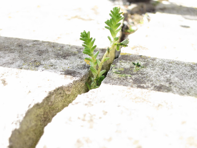 Tiny succulent plant grows through crack in stone step.
