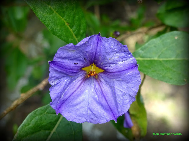 Flor Roxa  Lycianthes lycioides