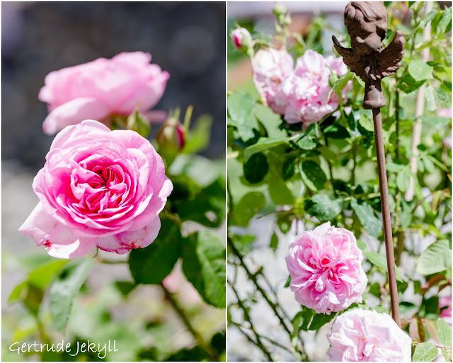 Impressionen aus dem Rosengarten, Pomponetti, Gertrude Jekyll