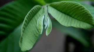 Khasiat pucuk daun jambu biji untuk wajah