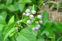 tanaman biopestisida