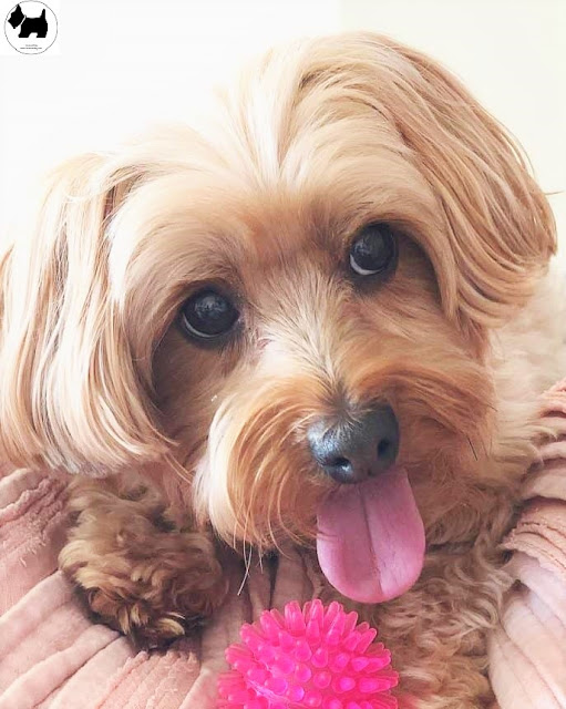 Cutest Dog Breeds, Best Dog, Yorkipoo Dog