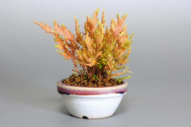 コガネシダS(黄金羊歯盆栽)Woodsia macrochlaena bonsai