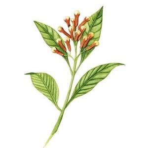 Cravo-da-índia, nome científico: Syzygium aromaticum