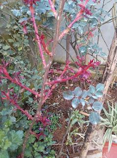mầm cây hoa hồng leo hải phòng