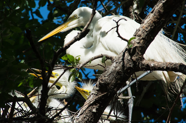 Great Egrets, UT Southwestern Medical Center Rookery