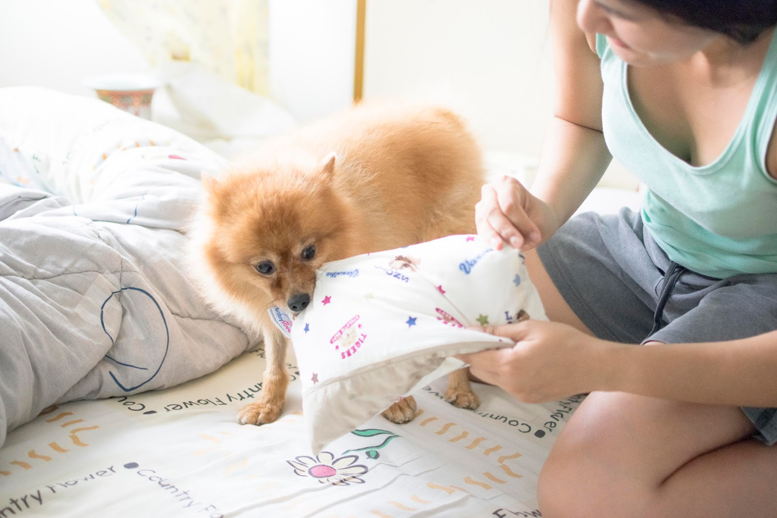 animal Photography: Bobby the Pomeration Play Time with Pillow & Bolster