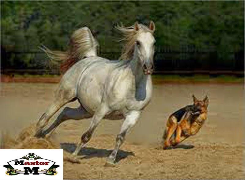 تعرف على صفات الخيول العربيه الاصيله  على ماستر زوووو
