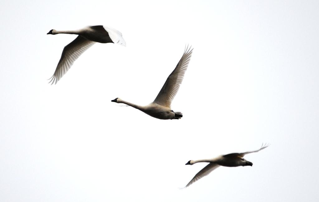 Картинка летящий лебедь анимация, ирины