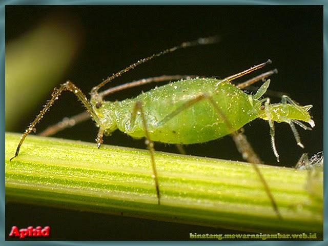 gambar aphid