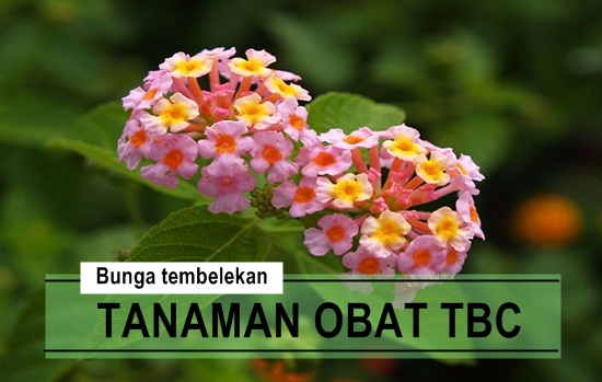 Cara Mengobati Penyakit TBC Paru Dengan Bunga Tembelekan