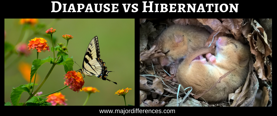 Difference between Diapause and Hibernation (Diapause vs Hibernation)