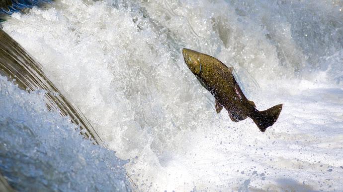 Wallpaper: Salmon Jumping Over Waterfall