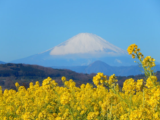菜の花と富士:二宮町吾妻山