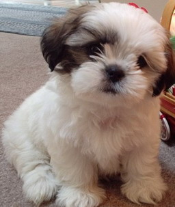 brown maltese dog cute puppy dogs brown maltese puppy 1390