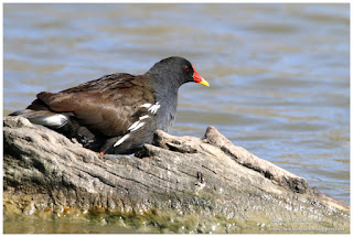 https://bioclicetphotos.blogspot.fr/search/label/Gallinule%20poule-d%27eau%20-%20Gallinula%20chloropus