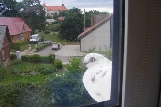 Balandis prie lango