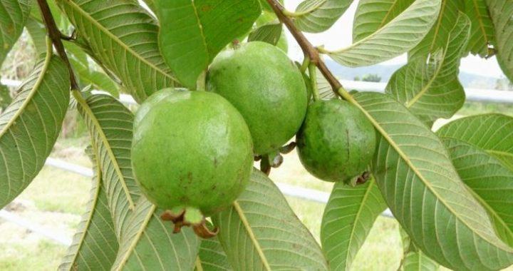 Image result for अमरूद की पत्तियों