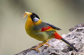 Burung Panca Warna
