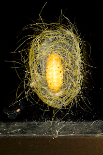 Hairy Cocoon Protection