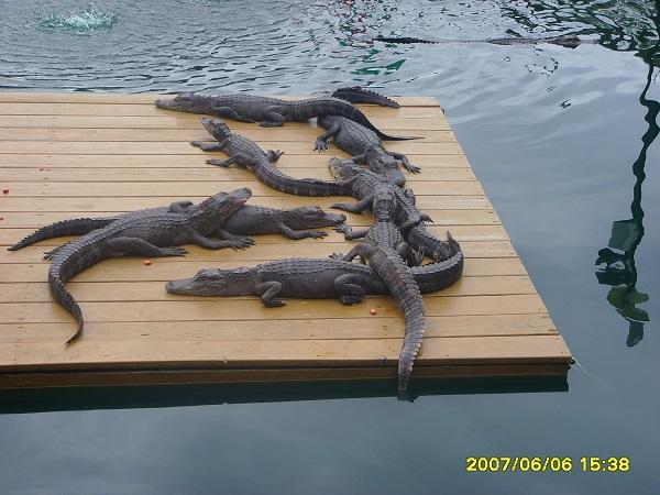 Alligatoren ruhen aus in der Hitze von Florida