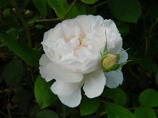 Ruža Winchester Cathedral