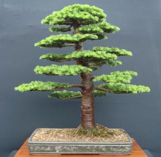 blue atlas cedar bonsai care, cedar bonsai tree for sale, red cedar bonsai, cedrus deodara bonsai pruning, blue atlas cedar bonsai for sale, cedrus libani bonsai for sale, atlantic cedar bonsai, lebanon cedar bonsai