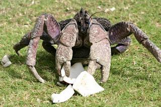 Eles escalam o coqueiro, apanham o coco e rasgam a casca em tiras usando suas pinças , em seguida, batem na fruta repetidamente até que ela se rompa. Há relatos de que já foram vistos se alimentando de outros caranguejos mortos, de pequenas galinhas e até de gatos.