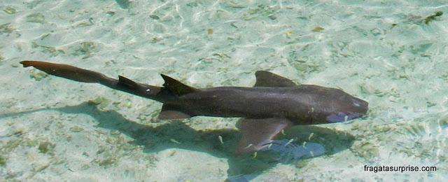 Tubarão-gato no Aquário San Martín, Ilhas do Rosário, Colômbia