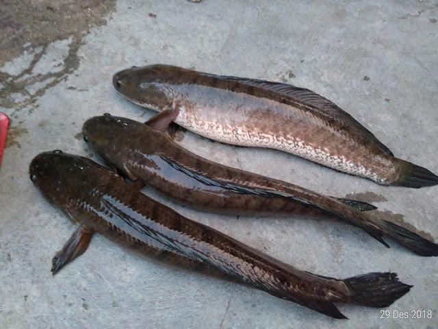 spot casting ikan gabus di klaten