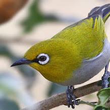 8 Jenis Buah Beserta Manfaatnya Untuk Burung Pleci