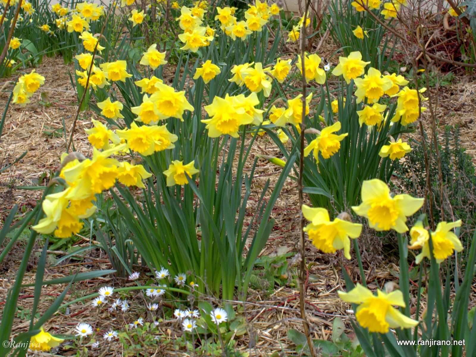 en attendant que le printemps s 39 installe des narcissus jaunes paysages et fleurs au fil de l 39 eau. Black Bedroom Furniture Sets. Home Design Ideas