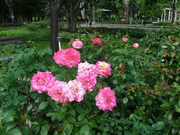 Донецьк. Ботанічний сад. Розарій