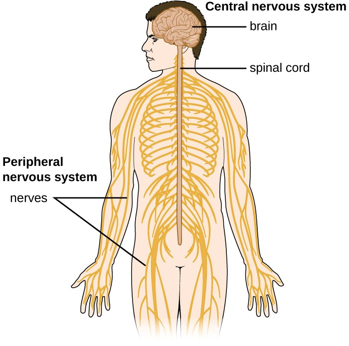 The Nervous System The Master Controlling System Pharma Traino