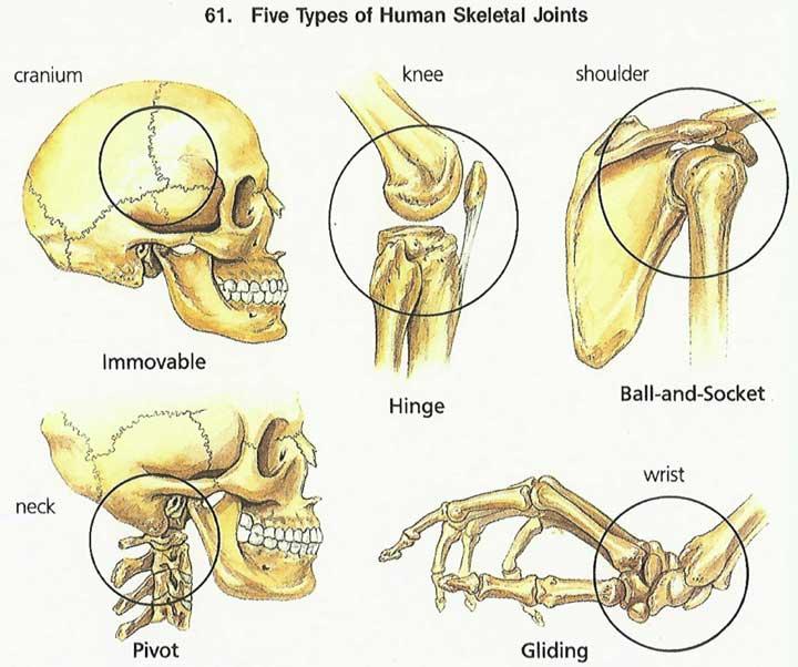 Skeleton System - (Structure + Composition + Facts ...  Human Skeleton Joints Diagram