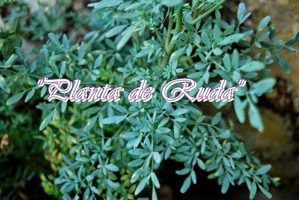 Que plantas regalar para el amor feng shui