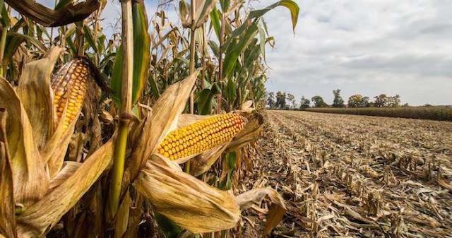 #NoMaízGringo: el boicot contra productores de EU que apoyaron a Trump