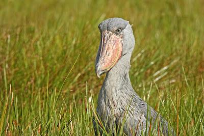 birding Uganda safaris, birding in Uganda