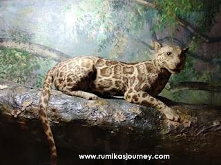 kucing hutan di museum zoologi bogor