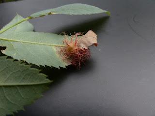 Galle de l'églantier ou du rosier - Bédégar - Diplolepis rosae