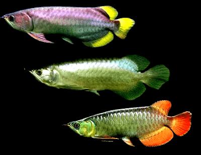 Jenis Ikan Arwana Yang Populer Dipelihara di indonesia